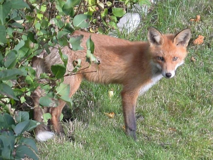 rav-fox