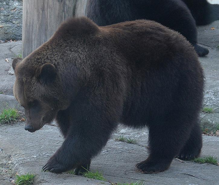 Björn i djurparken